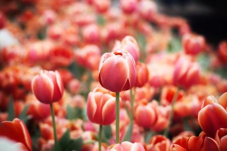 Close up of orange tulip in the garden