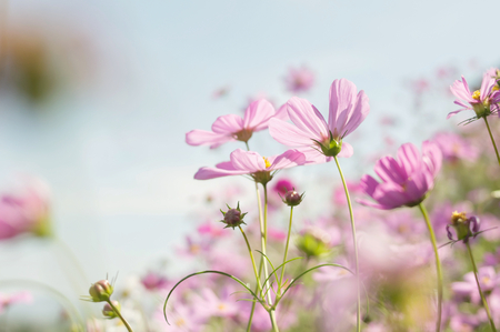 Blurry background of pink cosmos with sunlight in the garden Banco de Imagens - 123010271
