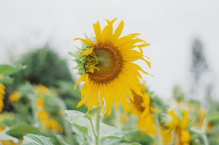 Sunflower in the field with nature background Banco de Imagens - 123010597