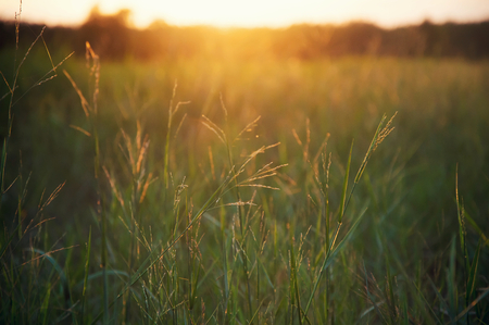 Green grass in the sunset time