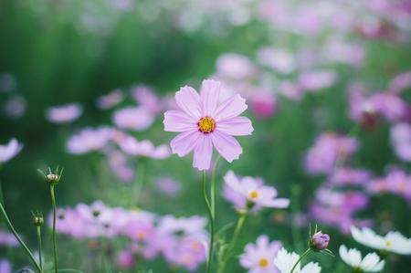 Pink cosmos flower in the garden Banco de Imagens - 123010611