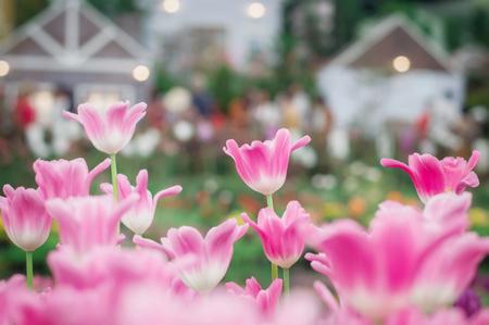 Pink tulip in the garden Banco de Imagens