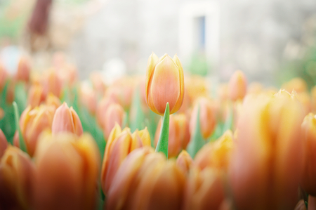 Orange tulip in the garden Banco de Imagens