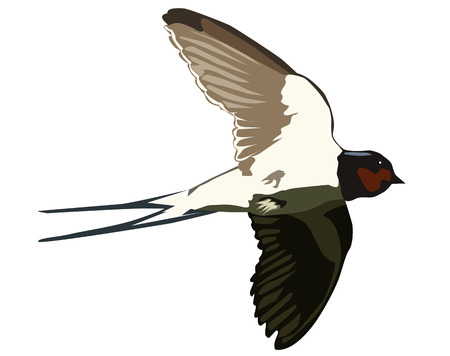 Flying swallow on a white background Vector