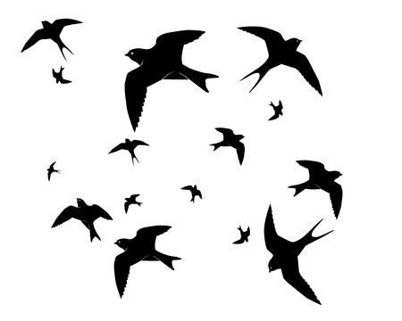 martin: Jaskółki latania na białym tle