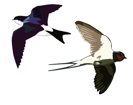 swallow bird: Flying swallows on a white background Illustration