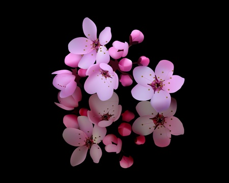 cerisier fleur: fleurs de cerisier sur fond noir Illustration