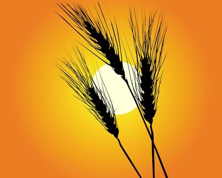 planta de maiz: Orejas de trigo contra el sol cielo naranja