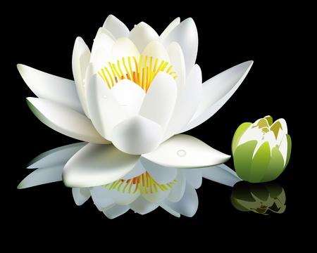 lirio de agua: flor de lirio de agua blanca y bud sobre un fondo negro Vectores