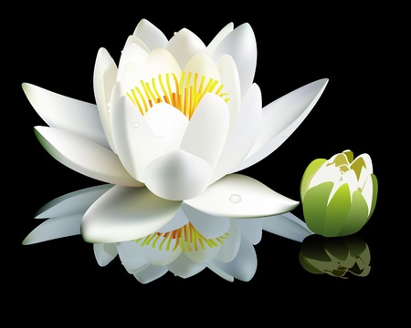 white water-lily flower and bud on a black background Stock Vector - 9934756