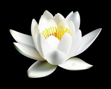 flor de loto: flor de lirio de aguas blancas sobre un fondo negro Vectores