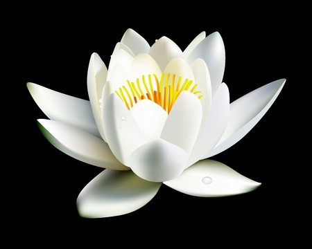 white water lily flower on a black background Illustration