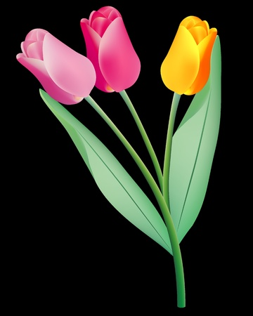 springy: three colored tulips on a black background Illustration