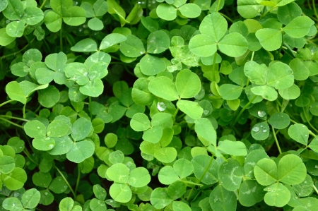 background from green clover leaf with drops