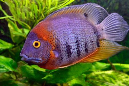 freshwater fish: colorful aquarium fish on a background of green vegetation