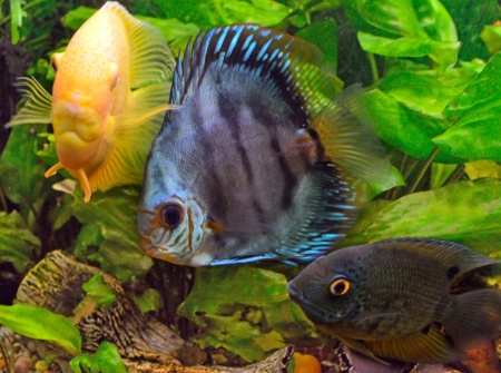 Discus aquarium with other fish on a background of green plants