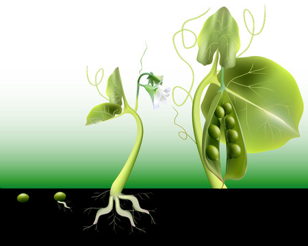 peas growing grain to maturity on a green background Illustration