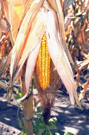 grain fields: Dried ripe ear of corn growing in the field