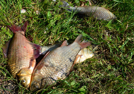 grass carp: River carp lying on green grass Stock Photo