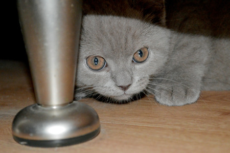 young kitten hiding under a kitchen cabinet
