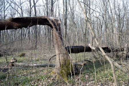 broken tree in the forest in cloudy weather march month Stockfoto