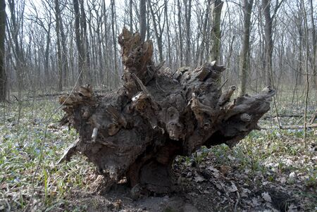 tree root torn from the ground in cloudy weather