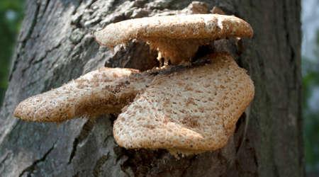 Mushrooms growing on a walnut tree in the summer