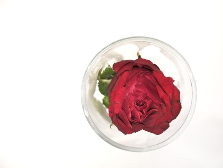 Red rose in vase on white background Stock Photo