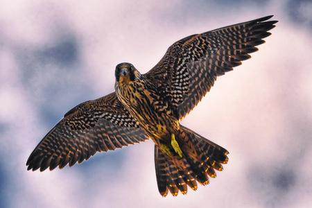 Peregrine Falcon Falco peregrinus gliding through the air against a blue sky. Stock Photo