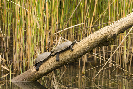 wildlife preserve: Emydidae family aquatic turtles standing on a wood