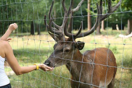 pelage: Red deer