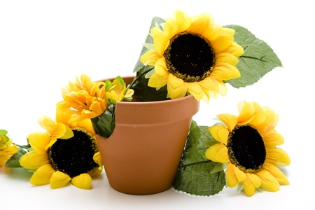 Sunflowers in the flowerpot photo