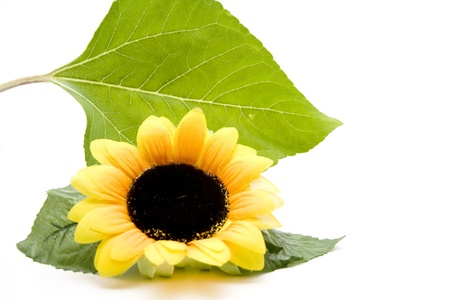 Sunflower with leaf