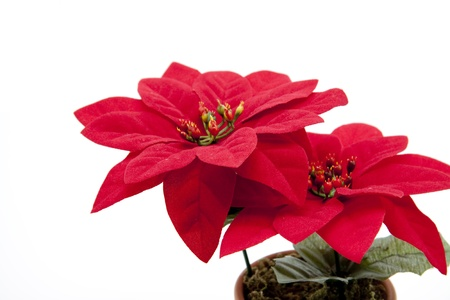 christmas tide: Flowering pot plant Stock Photo