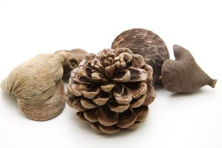 nutshell: Nutshell with pine plug