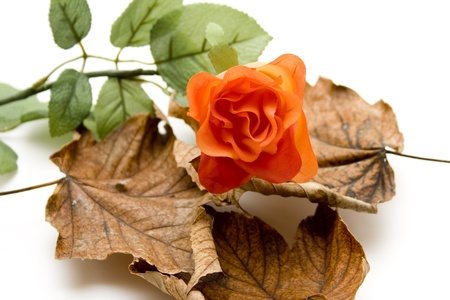 autumnally: Autumn foliage with rose
