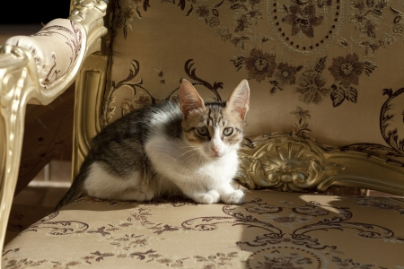 upholsterer: Young cat on armchair