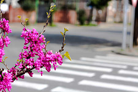 Quiet Street photo in the daytime with branch of blossoming purple pink flowers. Quiet town neighborhood Stock Photo