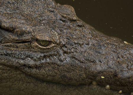 eye ball: Cerca de un ojo de cocodrilo del Nilo. Ruta de acceso para bola de ojo incluido de recorte