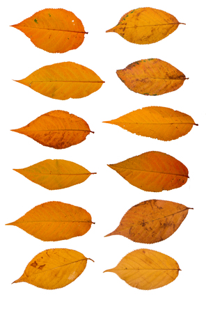 Collection of yellow sakura leaves on a white background