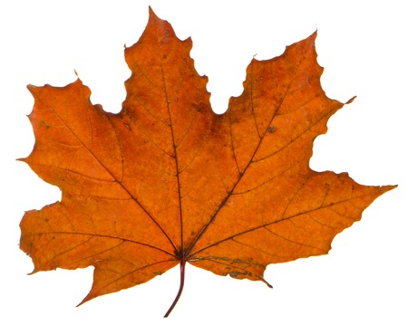 yellow maple leaf on a white background is the most commonly used sun symbol Stock Photo