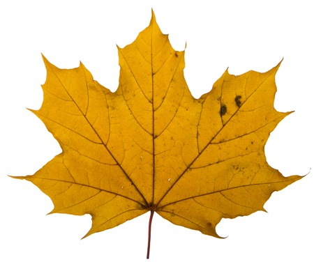 calendario octubre: yellow maple leaf on a white background is the most commonly used sun symbol Foto de archivo
