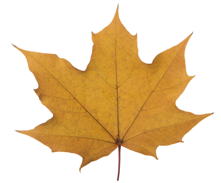 yellow maple leaf on a white background is the most commonly used sun symbol.