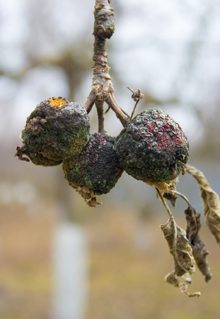 moniliosis, close up a disease of fruit trees leading to the destruction of the crop Stock Photo