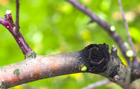 diseases of the fruit tree crust, apple-tree black cancer close up