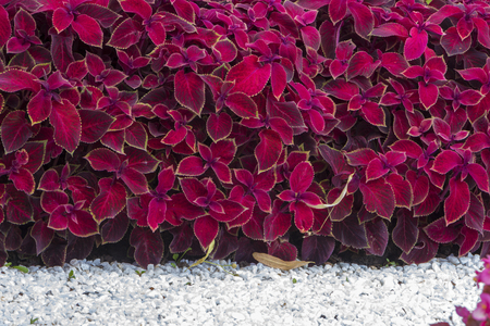 Swedish ivy or decorative mint, the use of plants in landscape design close up 스톡 콘텐츠
