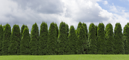 Fragment of a rural fence hedge from evergreen plants the Thuja. Standard-Bild