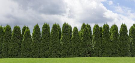 Fragmento de una valla rural cerca de plantas de hoja perenne el Thuja. Foto de archivo