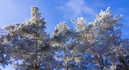 crown of trees covered with winter frost, against the blue sky.