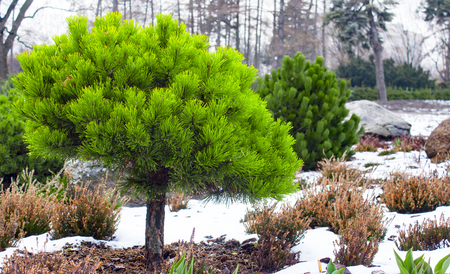 Branches of a dwarf mountain pine Pinus mugo . use in landscape design and design.